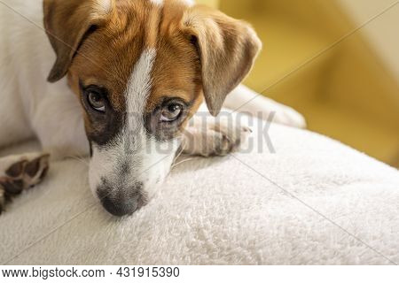 Cute Muzzle Puppy Jack Russell Terrier Looks Into The Eyes On A White Pillow At Home Waiting For The