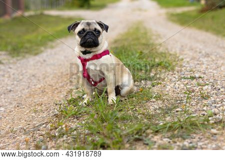 A Cute Pug Puppy In A Collar And With Red Harnesses Sits On A Dirt Road