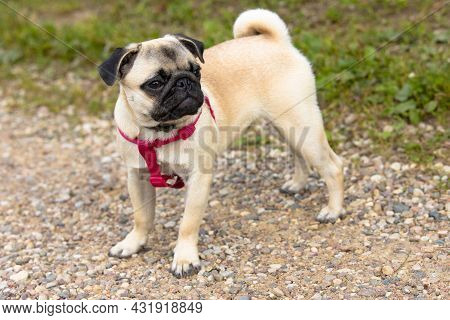 A Cute Pug Puppy In A Collar And With Red Harnesses Stands On A Dirt Road