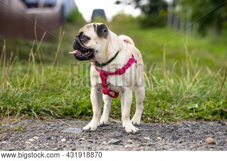 Cute Pug Puppy In A Flea And Tick Collar And With Red Harnesses Stands On A Country Road