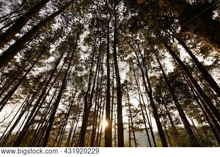 Tall Tree In Forest With Sunlights And Rays At Sunset.
