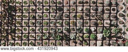 Rows Of Variety Kinds And Species Of Small Cactus In Mini Pot In Morning Sunlight Take From Top View