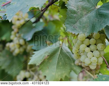 Kishmish Grapes Grapes With Green Leaves. Fresh Organic Grape On Vine Branch. Branch With Juicy Appe
