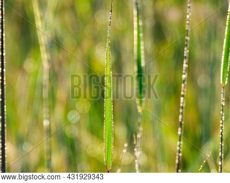 Closeup Macro Of Reed Grass With Morning Dew Droplets Reflecting The Sun On A Summer Morning With Mo