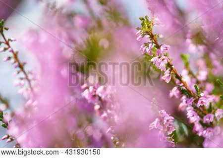 Beautiful Blooming Pink Heather In A Forest Clearing At Sunny Day. Small Lilac Purple Flowers On Lon