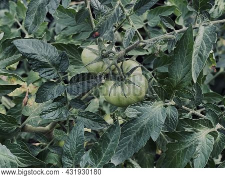 Green Tomato Grows And Ripens On The Gryatka In The Garden