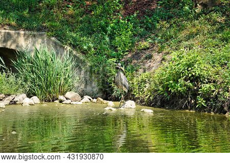 Heron With Fish: A Blue Heron Stands On The Edge Of A Pond With A Catfish In Its Mouth On A Sunny Su