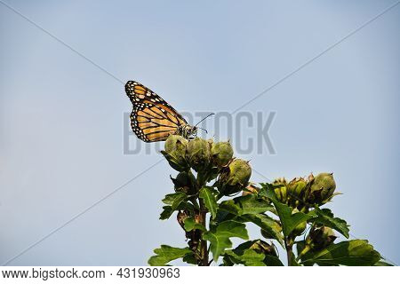 Monarch Butterfly On Flower Buds: A Beautiful Monarch Butterfly With Pollen On Its Face, Antennas An