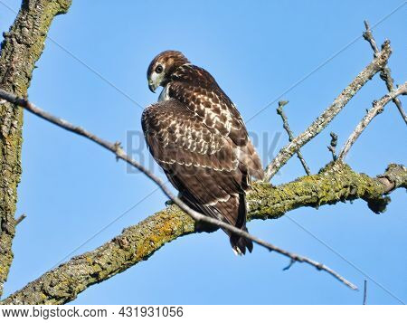 Red Tailed Hawk Perched On Branch: A Young Red-tailed Hawk Bird Of Prey Raptor Is Perched On A Branc