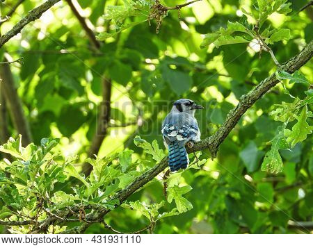 Blue Jay On A Branch: A Blue Jay Turns Their Head Back Over Shoulder While Perched In A Leafy Green