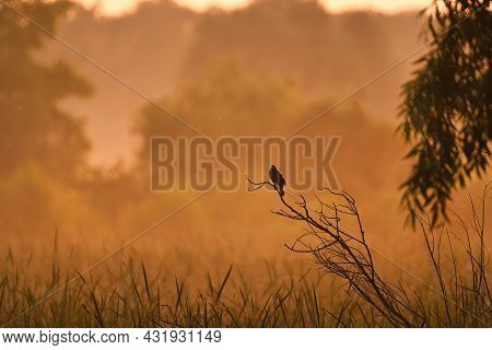 Bird On A Branch At Dawn: A Red-winged Blackbird Perched On A Branch Silhouette In The Early Red Daw