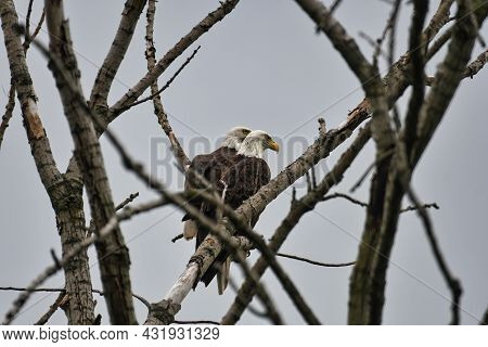 Pair Of Bald Eagles In Tree: A Pair Of Bald Eagles Perched In A Bare Tree Together On A Cloudy Day