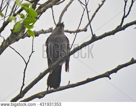 Gray Catbird Bird Perched On Branch On A Cloudy Day Looking Straight Ahead Beak Up And Out