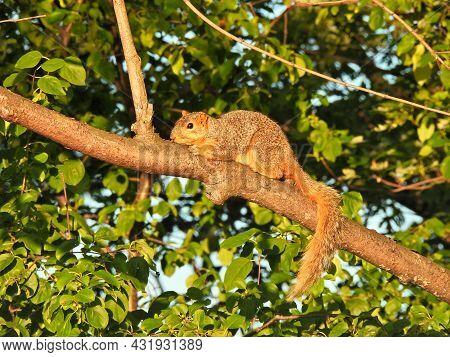Lazy Squirrel In Morning Sunrise Sunlight Laying On Tree Branch With Orange Sunshine At Dusk Surroun