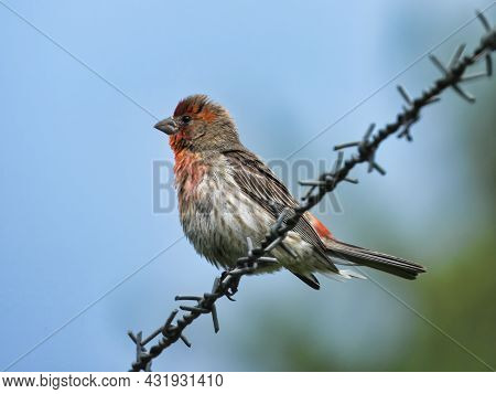 House Finch On Barbed Wire: A Male House Finch Bird Perched Perfectly On A Barbed Wire Fence On A Cl