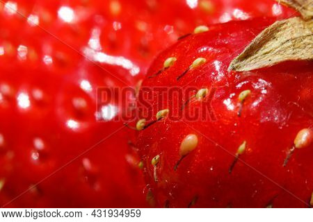 Industrial Cultivation Of Strawberry Plant. Ripe Red Fruits Strawberry Macro Extreme Close Up. Straw