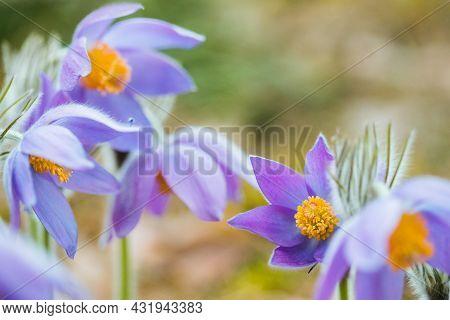 Beautiful Wild Spring Flowers Pulsatilla Patens. Flowering Blooming Plant In Family Ranunculaceae, N