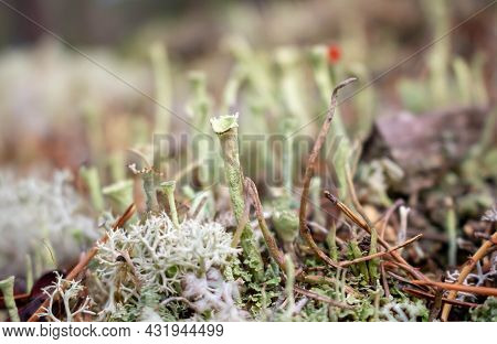 Beautiful Gray Tubular Moss, Moss Close-up, Macro. Close-up Of Moss In A Pine Forest On A Cool Autum