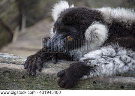 Closeup Of An Adult Black And White Ruffed Lemur, Varecia Variegata. This Critically Endangered Spec