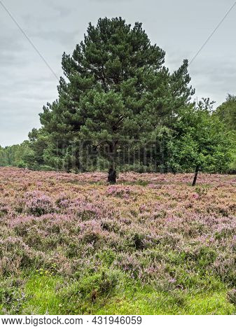 Heather And A Pine Tree At Skipwith Common, North Yorkshire, England