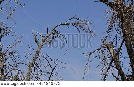 Wheatear Cute Bird Sits On The Tree