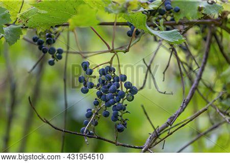 The Wild Grape Vine Vitis Riparia In The Park