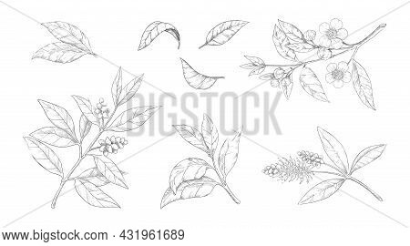 Tea Leaves. Hand Drawn Branches With Flowers And Foliage. Engraved Chinese Morning Black And Green D