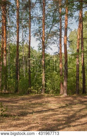 Forest landscape. Beautiful forest nature. Pinery in summer