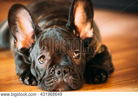 Young Black French Bulldog Dog Puppy With White Spot Sitting On Laminate Floor Indoor Home. Funny Do