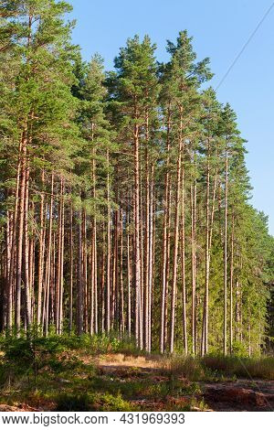 European Forest, Vertical Background Photo. Pine Trees On A Summer Sunny Day