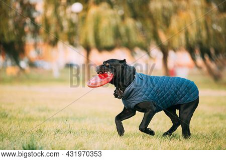 Active Black Cane Corso Dog Play With Plate Toy Outdoor In Park. Dog Wears In Warm Clothes. Big Dog
