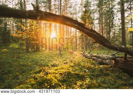 Sunlight In The Green Forest, Summer Time. Fallen Old Pine Tree In Coniferous Forest After Strong Hu