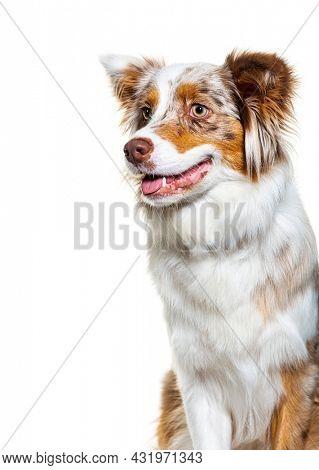 Profile Head shot portrait of a panting Red merle Australian shepherd dog, isolated on white