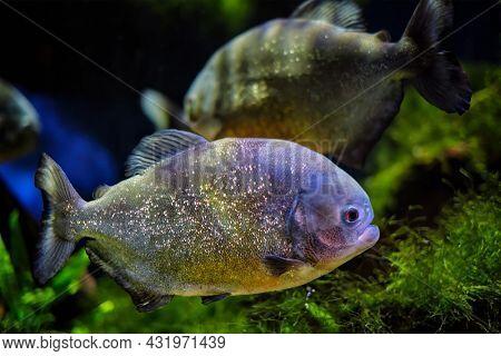 Red-bellied piranha (red piranha) Pygocentrus nattereri underwater