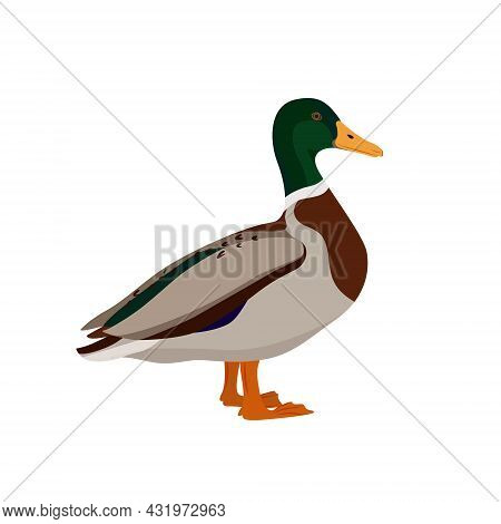 Adorable Duck Isolated On White Background. Farm Poultry. Vector Illustration Of Farm Birds In A Fla
