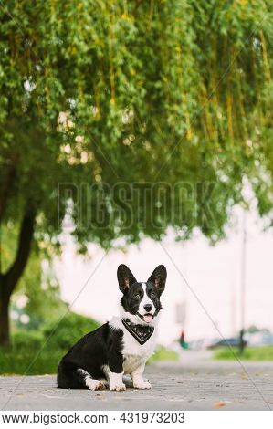 Funny Cardigan Welsh Corgi Dog Sitting Under Tree Branches On Road. Welsh Corgi Is A Small Type Of H