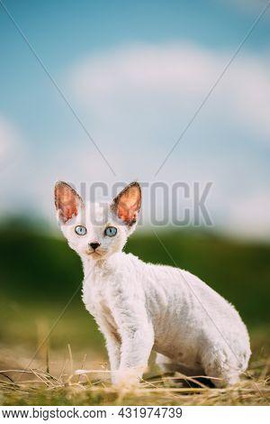 Sweet Devon Rex Cat Funny Curious Young White Devon Rex Kitten In Grass. Short-haired Cat Of English