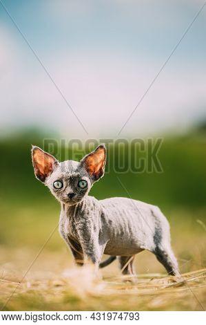 Funny Young Gray Devon Rex Kitten In Grass. Short-haired Cat Of English Breed. Sweet Devon Rex Cat F