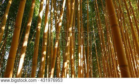 Bamboo Forest, Exotic Asian Tropical Atmosphere. Green Trees In Meditative Feng Shui Zen Garden. Qui
