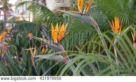 Strelitzia Bird Of Paradise Tropical Crane Flower, California Usa. Orange Exotic Vivid Floral Blosso