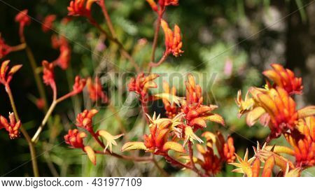 Red Cats Or Kangaroo Paw Flower, California, Usa. Anigozanthos Bicolor Floral Blossom. Exotic Tropic