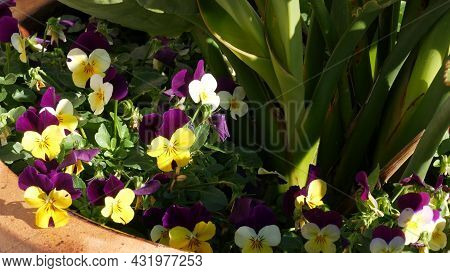 Ornamental Garden Flowers, Home Gardening In California, Usa. Decorative Botanical Floriculture. Flo