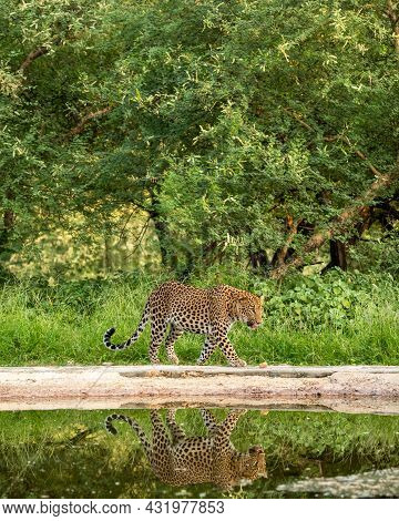 Indian Wild Male Leopard Or Panther Walking With Reflection In Water At Waterhole During Monsoon Sea
