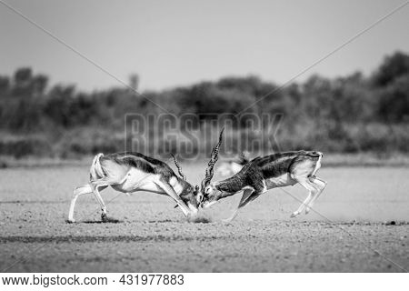 Two Male Blackbuck Fighting In An Open Field Antilope Fighting With Full Force With Long Horns At Ta