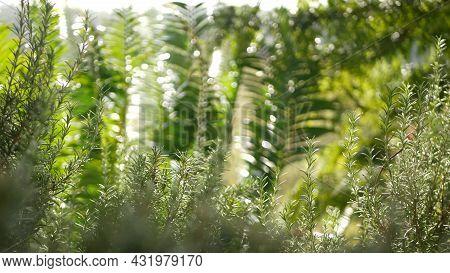 Rosemary Salvia Herb In Garden, California Usa. Springtime Meadow Romantic Atmosphere, Morning Wind