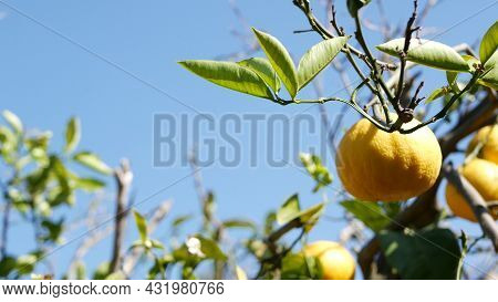 Citrus Orange Fruit, Bare Leafless Tree, California Usa. Spring Garden, American Local Agricultural