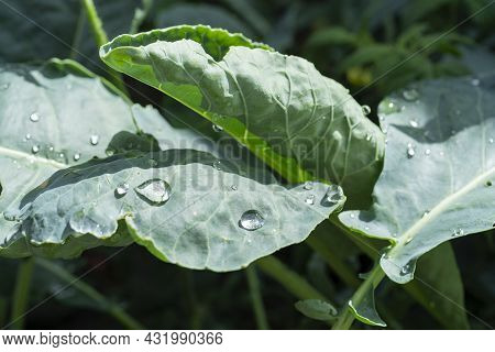 Close Up Of Cabbage Leaves With Raindrops. Cabbage Shoots On The Bed Outdoors. Home Gardening Concep