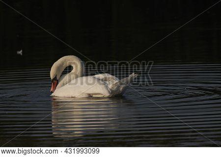 Mute Swan (cygnus Olor) Preening On A Lake At Ham Wall In Somerset, England, United Kingdom