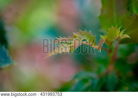 Close-up Of Holly Branch Or Christmas Tree. Nature Background Of Holly Branches In Summer. Toned Ima