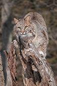 Bobcat (Lynx rufus) Perchs on Stump - captive animal poster